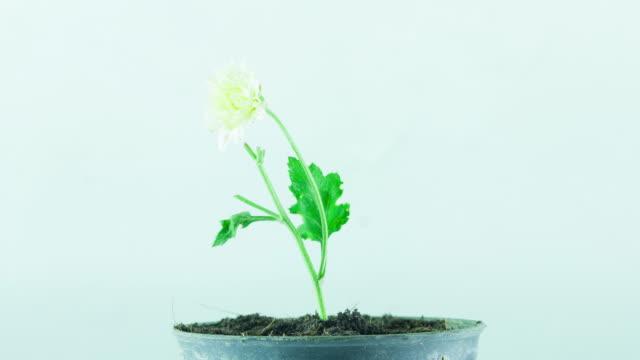4 K Time-lapse: vit blomma torkning
