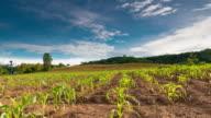 Timelapse:Farm corn