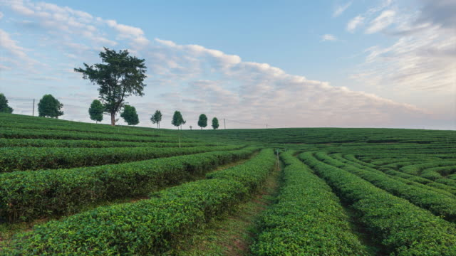 4K Time-lapse:The tea plantations background, Tea plantations in morning light at beautiful