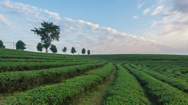 4K Time-lapse:The tea plantations background, Tea plantations in morning light, move up