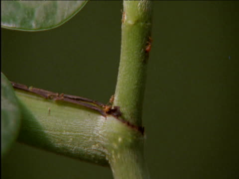 Tiny ants emerge from nest within host piper plant