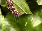 Tiny flame butterfly caterpillar climbs up silk thread to join larger caterpillar on leaf