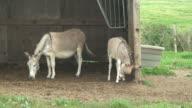 Tiny grey  donkeys