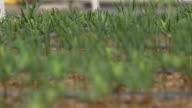 MS R/F Tiny pine sapplings / Cranbrook, Kent, United Kingdom