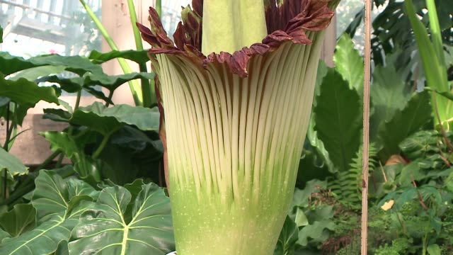 WGN A titan arum's inflorescence opens and emits a powerfully stinky smell at Chicago's Garfield Park Conservatory on June 17 2016