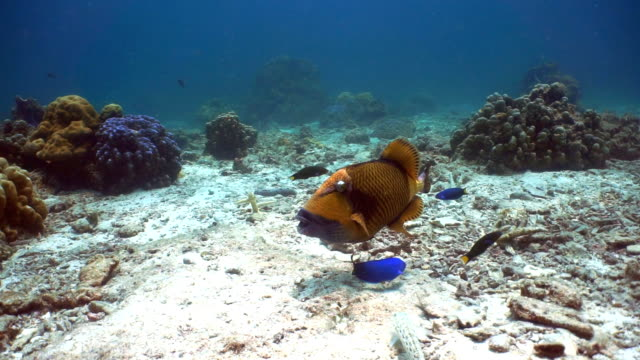 Titan Triggerfish (Balistoides viridescens), nesting, Ko Haa Archepelago, Andaman Sea, Krabi, Thailand.