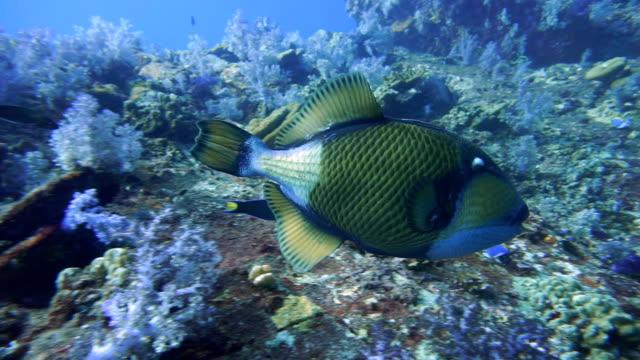 Titan Triggerfish (Balistoides viridescens), swimming, Hin Daeng, Hin Muang, Andaman Sea, Krabi, Thailand.