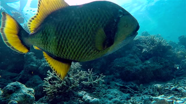Titan triggerfish swimming on coral reef - Maldives