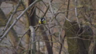 HD SUPER SLOW-MO: Titmouse Flying Off A Tree