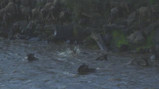 SLOMO TU to reveal Wildebeest jumping into river towards camera