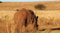 HD HANDHELD TD to WS SIDE of Rhinoceros grazing on dry grassland safari w/ bird standing on it's back/rear end Wildlife