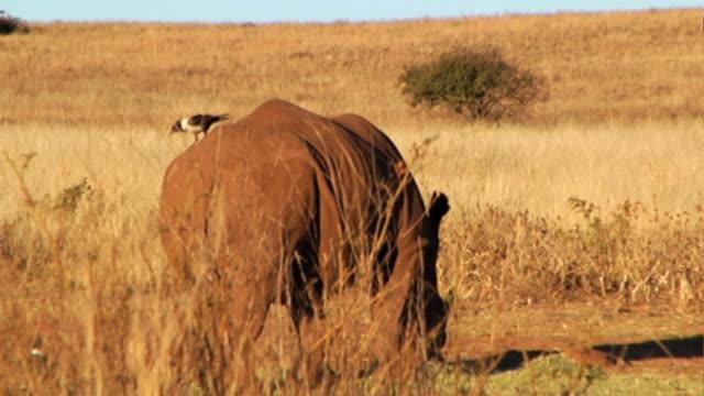 HD HANDHELD TD to WS SIDE of Rhinoceros grazing on dry grassland safari w/ bird standing on it's back/rear end Wildlife
