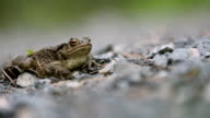 Toad breathing