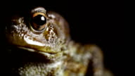 Toad Macro Close Up