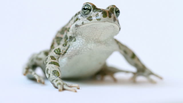 Toad Portrait with Funny Face Jumping Away