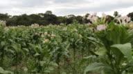 Tobacco plantation in Chinhoyi in Zimbabwe