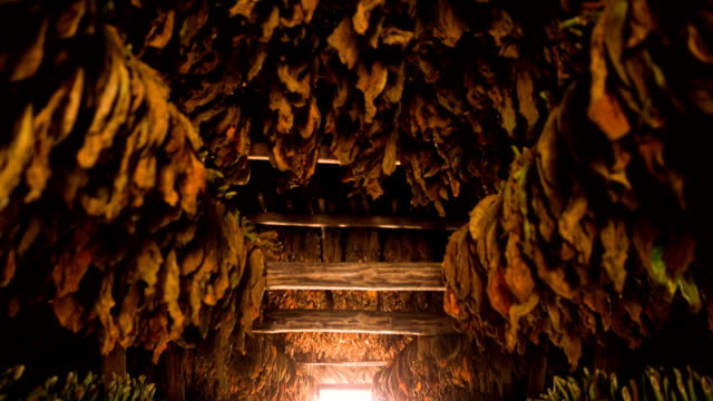 Tobacco plants drying in a barn Cuba
