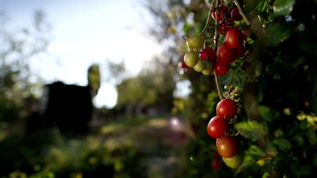 Tomato fruit on the plant