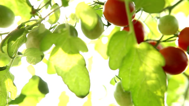 tomato nature sunlight