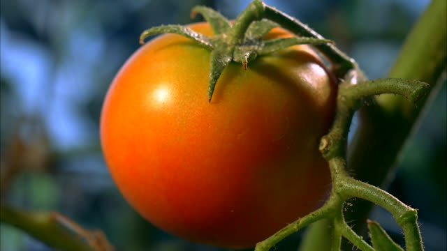 A tomato red as it ripens on its vine. Available in HD.