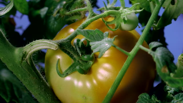 A tomato turns red as it ripens on its vine. Available in HD.