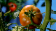 Tomatoes turn red as they ripen on their vines. Available in HD.