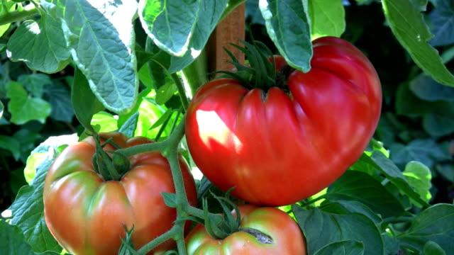 HD: tomatoes