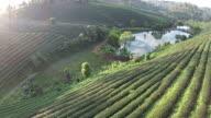 Top view Green tea plant