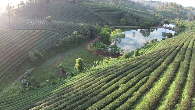 Top view Green tea plant