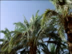 Tops of palm trees in breeze against blue sky Alger