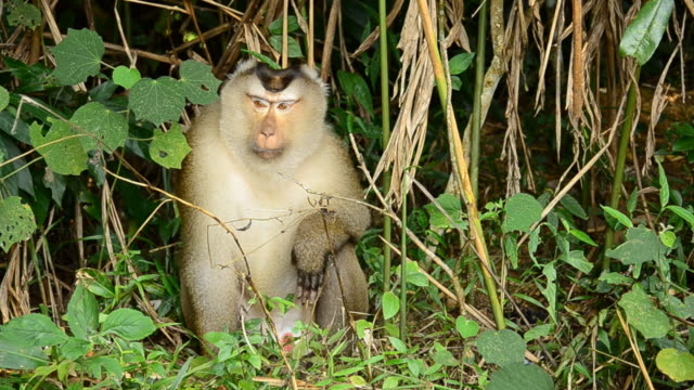 Macaco Toque