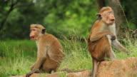 Toque monkeys