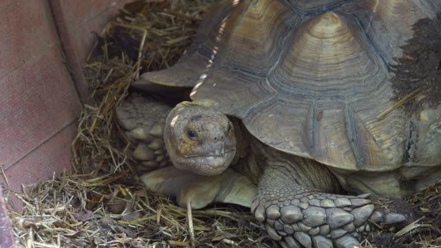 tortoise large and attractively marked