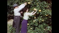 1954 HOME MOVIE Tourists picking grapefruits / Winter Haven, Florida