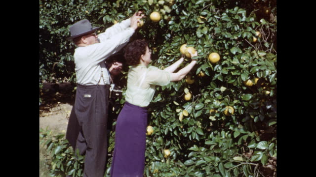 1954 HOME MOVIE Tourists picking grapefruits / Winter Haven, Florida