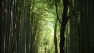 WS tourists take pictures with their smartphone as they walk through the Arashiyama Bamboo Grove MS a tourist takes a photo of the bamboo forest...
