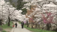 Tourists walk along a path lined by blooming cherry trees in Haruta Park.