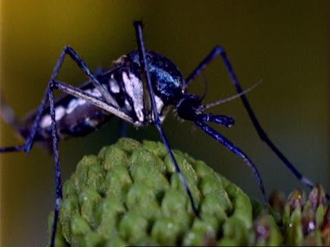 Toxorhynchites Mosquito, BCU on plant, feeding