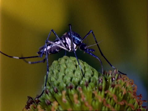 Toxorhynchites Mosquito, CU on plant, feeding