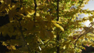 Track around beech tree (Fagus sylvatica) in Autumn sunshine, Gloucestershire, England