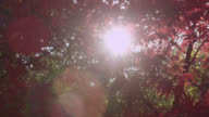 Track around Japanese maple tree (Acer palmatum) in Autumn sunshine, Gloucestershire, England