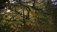 Track around lime tree (Tilia) in Autumn sunshine, Gloucestershire, England