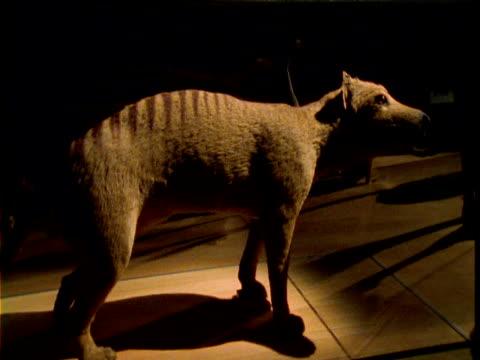 Track around stuffed Thylacine in museum, Australia