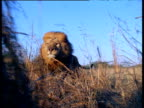 Track backwards with male lion running through long grass