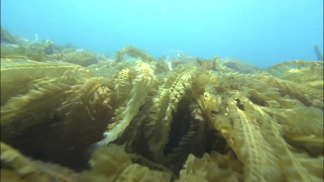 Track forward over kelp on sea bed, Shiretoko, Hokkaido, Japan, Diving Shot