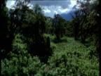 Track forward over lush vegetation of Virunga Mountain Range, Zaire