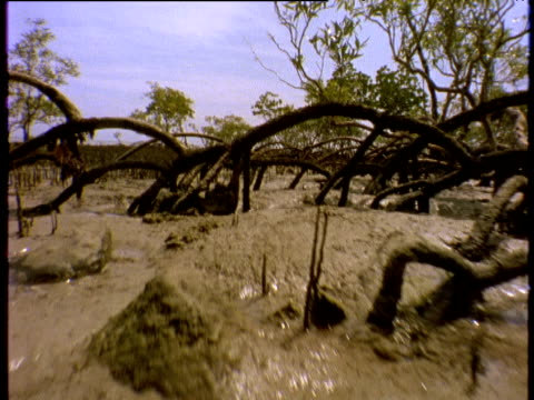 Track forward over mangrove roots at low tide