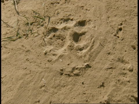 CU track forward over Royal Bengal Tiger tracks in sandy ground, India