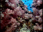 Track forwards as small shoal of fish swim over pink coral reef to open in Andaman sea
