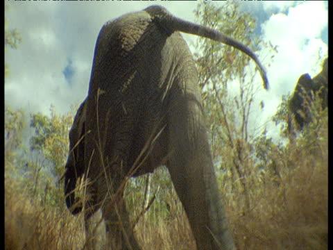Track forwards following elephant walking in African bush